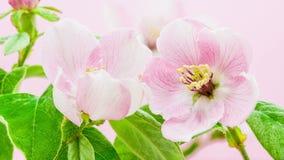 Άνθηση λουλουδιών κυδωνιών απόθεμα βίντεο