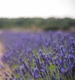 Άνθηση των λουλουδιών lavander στον τομέα, πιό στενή άποψη Τακτοποιημένη έκδοση Στοκ εικόνα με δικαίωμα ελεύθερης χρήσης