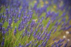 Άνθηση των λουλουδιών lavander στον τομέα, πιό στενή άποψη Στοκ Εικόνα
