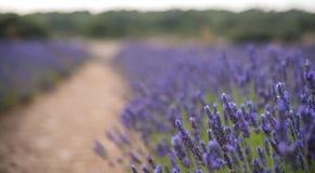 Άνθηση των λουλουδιών lavander στον τομέα, πιό στενή άποψη Cutted για το έμβλημα Στοκ Εικόνες