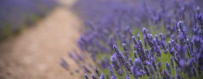 Άνθηση των λουλουδιών lavander στον τομέα, πιό στενή άποψη Cutted για το έμβλημα Στοκ εικόνες με δικαίωμα ελεύθερης χρήσης