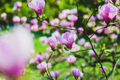 Άνθηση των λουλουδιών magnolia Στοκ φωτογραφίες με δικαίωμα ελεύθερης χρήσης