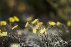 Άνθηση των πικραλίδων την άνοιξη Στοκ εικόνα με δικαίωμα ελεύθερης χρήσης