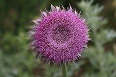 Άνθηση Carduus acanthoides (ακανθωτός plumeless κάρδος) Στοκ φωτογραφίες με δικαίωμα ελεύθερης χρήσης