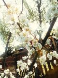 Άνθη άνοιξης στο χρυσό Στοκ φωτογραφίες με δικαίωμα ελεύθερης χρήσης