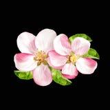 Άνθη άνοιξη Λουλούδια δέντρων της Apple που απομονώνονται στο Μαύρο Στοκ Εικόνες