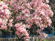 Άνθη άνοιξη στην πόλη της Νέας Υόρκης Στοκ Εικόνες