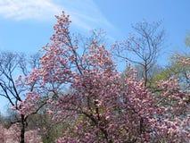 Άνθη άνοιξη στην πόλη της Νέας Υόρκης Στοκ εικόνα με δικαίωμα ελεύθερης χρήσης