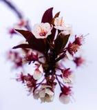 Άνθη άνοιξη Στοκ Φωτογραφία