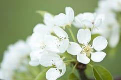 Άνθη δέντρων αχλαδιών Στοκ εικόνα με δικαίωμα ελεύθερης χρήσης