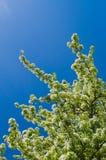 Άνθη δέντρων της Apple ενάντια στο σαφή μπλε ουρανό Στοκ Εικόνες