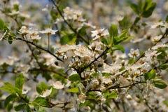 Άνθη δέντρων της Apple σε ένα δέντρο την άνοιξη Στοκ Εικόνα