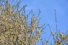 Άνθη δέντρων της Apple σε ένα δέντρο την άνοιξη Στοκ εικόνες με δικαίωμα ελεύθερης χρήσης