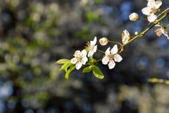 Άνθη δέντρων της Apple σε ένα δέντρο την άνοιξη Στοκ φωτογραφία με δικαίωμα ελεύθερης χρήσης