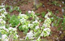 Άνθη δέντρων της Apple την άνοιξη χιονοπτώσεων χιονιού Στοκ Φωτογραφίες