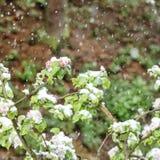 Άνθη δέντρων της Apple την άνοιξη χιονοπτώσεων χιονιού Στοκ εικόνα με δικαίωμα ελεύθερης χρήσης