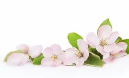 Άνθη δέντρων της Apple Στοκ Εικόνες