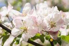 Άνθη δέντρων της Apple Στοκ εικόνες με δικαίωμα ελεύθερης χρήσης