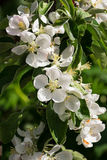 Άνθη δέντρων της Apple Στοκ Φωτογραφία