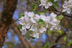 Άνθη δέντρων της Apple Στοκ εικόνα με δικαίωμα ελεύθερης χρήσης