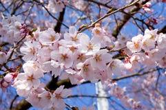 Άνθη ή sakura ιαπωνικά κερασιών Στοκ Φωτογραφία