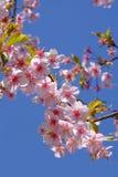 Άνθη ή sakura ιαπωνικά κερασιών Στοκ Εικόνα