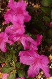 Άνθη αζαλεών Στοκ φωτογραφίες με δικαίωμα ελεύθερης χρήσης
