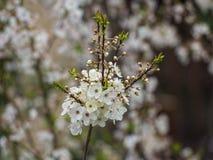 Άνθη δαμάσκηνων Στοκ Φωτογραφία