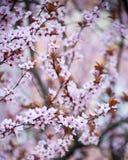 Άνθη δαμάσκηνων Στοκ Εικόνες