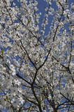 Άνθη δαμάσκηνων Στοκ Φωτογραφίες
