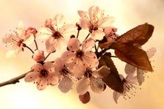 Άνθη δαμάσκηνων Στοκ φωτογραφίες με δικαίωμα ελεύθερης χρήσης