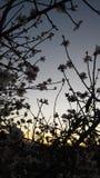 Άνθη αμυγδάλων Στοκ φωτογραφία με δικαίωμα ελεύθερης χρήσης
