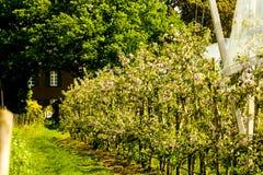 Άνθη αχλαδιών στο αγροτικό έδαφος Στοκ φωτογραφία με δικαίωμα ελεύθερης χρήσης