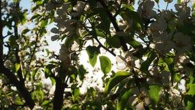 Άνθη αχλαδιών απόθεμα βίντεο