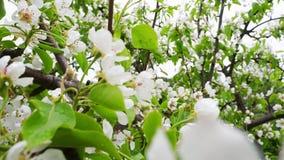 Άνθη αχλαδιών φιλμ μικρού μήκους