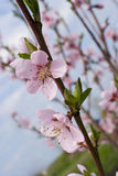 άνθη βερίκοκων στοκ φωτογραφίες με δικαίωμα ελεύθερης χρήσης