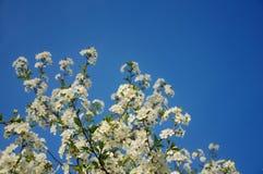 Άνθη βύσσινων (κερασέα προύμνη) σε έναν σαφή μπλε ουρανό Στοκ Εικόνα