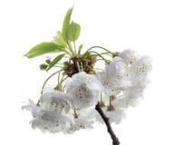 Άνθη βύσσινων στοκ φωτογραφία