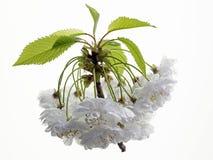 Άνθη βύσσινων στοκ φωτογραφία με δικαίωμα ελεύθερης χρήσης