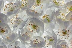 Άνθη βύσσινων στοκ εικόνες