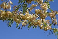 Άνθη δέντρων ντους στοκ εικόνες με δικαίωμα ελεύθερης χρήσης