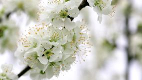 Άνθη δέντρων που ταλαντεύονται στο αεράκι φιλμ μικρού μήκους