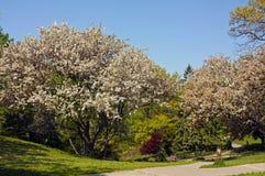 Άνθη δέντρων της Apple καβουριών Στοκ φωτογραφία με δικαίωμα ελεύθερης χρήσης
