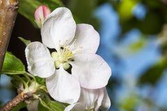 Άνθη δέντρων της Apple Στοκ φωτογραφία με δικαίωμα ελεύθερης χρήσης