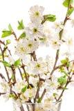 Άνθη δαμάσκηνων στο λευκό, υπόβαθρο άνοιξη Στοκ Φωτογραφία