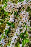 Άνθη ενός άγριου δέντρου δαμάσκηνων Στοκ φωτογραφία με δικαίωμα ελεύθερης χρήσης