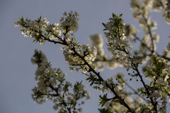 Άνθη και δαμάσκηνα δαμάσκηνων Στοκ Εικόνες