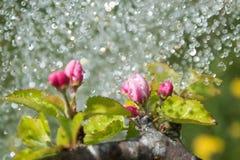 Άνθη και βροχή της Apple Στοκ Φωτογραφία