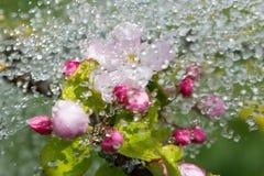 Άνθη και βροχή της Apple Στοκ εικόνες με δικαίωμα ελεύθερης χρήσης