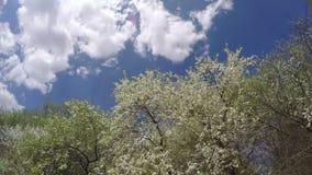 Άνθη και σύννεφα δέντρων δαμάσκηνων άνοιξη Timelapse 4K απόθεμα βίντεο